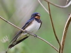 Swallow (Hirundo rustica) - Taken at Sywell Country Park, Sywell, Northamtonshire. UK (Ian J Hicks) Tags: