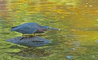 Green Heron: Butorides virescens
