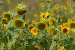31082018-DSC_0015 (vidjanma) Tags: champ tournesols fleurs jaune