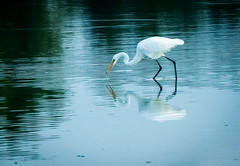 Great Egret (Mule67) Tags: birds great egret fern hill wetlands oregon food hunting