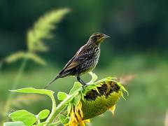 Female Red-winged Blackbird on Sunflower (KevinBJensen) Tags: songbird birdwatching redwinged blackbird female sunflower summer seeds