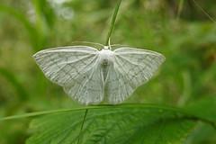 Ööliblikas (Jaan Keinaste) Tags: olympussh1 eesti estonia elusloodus fauna liblikas butterfly ööliblikas moth