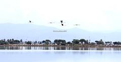 Phoenicopterus roseus (CarloAlessioCozzolino) Tags: fenicottero flamingos phoenicopterusroseus animali animals quartusantelena sardegna sardinia saline saltworks uccelli birds riflesso reflections