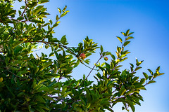 DSC_0484 (Eric Bloecher) Tags: apple tree garden fruit sky