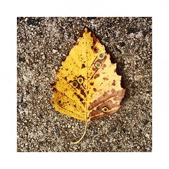 Polka dot leaf. (jeanne.marie.) Tags: yellow patternsinnature iphoneography iphone7plus sidewalk autumn polkadotted leaf 100xthe2018edition 100x2018 image74100