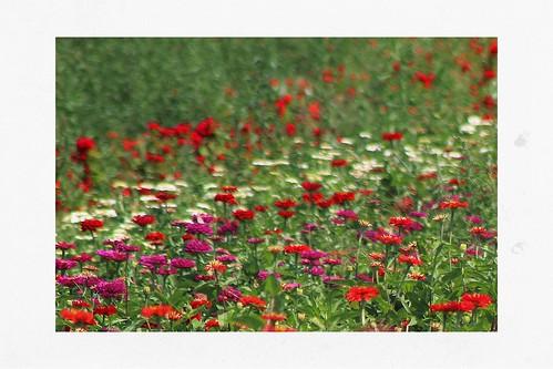 Flower Field Bokeh