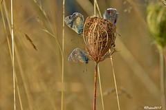 Argus bleu  Polyommatus icarus l. (BPBP42) Tags: papillon butterfly animal insectes nature