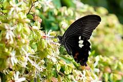 モンキアゲハ Red Helen (takapata) Tags: sony sel90m28g ilce7m2 macro nature flower insect butterfly