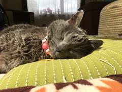Argent in the Warmest Sunbeam in the House (sjrankin) Tags: 12september2018 edited kitahiroshima hokkaido japan animal cat closeup argent sun sunlight zabuton mat cushion sleep