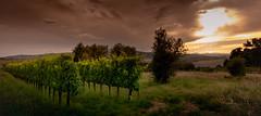 I heard it through the grapevine (Beppe Rijs) Tags: 2018 europa italien juli sommer toskana europe italy july summer tuscany