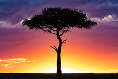 This is Africa (frankmetcalf) Tags: eastafrica maasaimara sunset savannah acacia entimcamp davidlloyd elliottneep safari canon7d2 twilight grassland treetrunk canopy sunglow africa kenya greatmigration wildebeest gnu