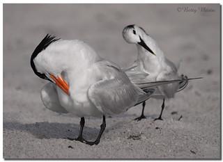 Royal Tern & Sandwich Tern