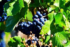 Pinot noir (Diegojack) Tags: vaud suisse echandens d500 nikon nikonpassion domaine abbesse vin vigne raisin pinot noir