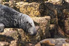 Sleepy Seal (UK Nature Photography) Tags: seal animalphotography wildlife