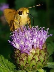 Sachem (rstickney37) Tags: hesperiidae skipper northcarolinabutterflies