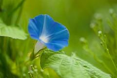 アメリカアサガオ Ivyleaf morning glory (takapata) Tags: sony sel90m28g ilce7m2 macro nature