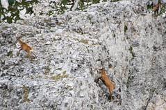 Castillo de Acher (Aragon/Espagne) (PierreG_09) Tags: aragon espagne spain españa montagne acher castillodeacher selvadeoza valléedehecho valledeecho faune isard chamois rupicaprapyrenaica