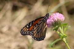 2018 Monarch Butterfly 037 - Danaus Plexippus (Chrisser) Tags: insects insect butterflies butterfly monarch danausplexippus nature ontario canada canoneosrebelt6i canonef75300mmf456iiiusmlens nymphalidae