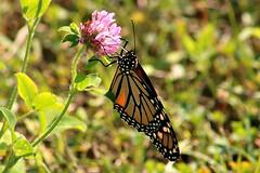 2018 Monarch Butterfly 046 - Danaus Plexippus (Chrisser) Tags: insects insect butterflies butterfly monarch danausplexippus nature ontario canada canoneosrebelt6i canonef75300mmf456iiiusmlens nymphalidae