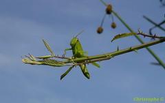 Criquet égyptien guidé par la curiosité...(Entraigues sur la sorgue - Vaucluse - 7 août 2018) (Carnets d'un observateur de la nature du Sud de la) Tags: orthoptère criquetégyptien insecte macro proxy microcosmos nature biodiversité entraiguessurlasorgue vaucluse provence