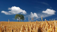Clouds field nature - Credit to https://homegets.com/ (davidstewartgets) Tags: clouds field nature sky tree wheat