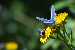 Common Blue and Bee (David in SK6) Tags: commonblue rspbpulboroughbrooks