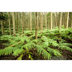 シダ (Fotarts) Tags: 自然 nature natural landscape fern leaf green forest tree wood 風景 森 kagoshima japan frond