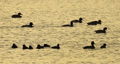 Waterbird Silhouettes at Sunset (Gilli8888) Tags: nikon p900 coolpix nature countryside druridge druridgeponds wetlands northumberland birds silhouette silhouettephotography water waterbirds sunset ducks