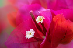 If you truly love nature, you will find it beautiful everywhere. Vincent van Gogh (blancobello) Tags: bougainvillea flower macro blossom blüte pink transparent definingbeauty macromondays