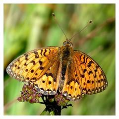 """""""La beauté est dans les yeux de celui qui regarde"""" (Ch. Baudelaire) (dmnq_fenot) Tags: macromondays definingbeauty fauna closeup"""