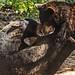 Black Bears Tumble