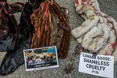 20170815.17.40-30 (HisPhotographs.com) Tags: toronto canadagoose cruelty demonstration activist downtown city canada ontario shameless coyote abuse murder peta