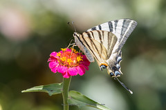 Iphiclides podalirius (Roman Dergunov) Tags: 2018 canon canoneos70d crimea crimea2018 canonef70200mmf28lisiiusm butterfly animal iphiclidespodalirius insect russia macro nature