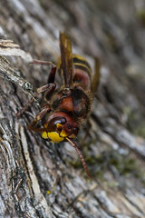 Besucher am Fliederbaum (kaefer63) Tags: hornisse insect insekten makroaufnahme pentaxk70 smcpentaxfa28100