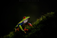 Rana Verde de Ojos Rojos. Agalychnis callidryas. Red-eyed Tree Frog (Daniel Sziklai G.) Tags: arenal costarica macrofotografía natphoto macro rana verde de ojos rojos agalychniscallidryas redeyed tree frog amphibian anfibio