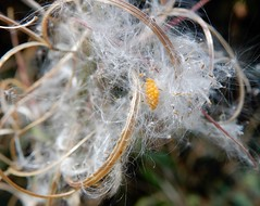 Dispersal or risky? (rockwolf) Tags: ladybird eggs ova coccinellidae coccinelle oeufs rosebaywillowherb seeds thecliffe shropshire rockwolf