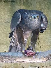 N'y pensez même pas !!!! c'est à moi !!! (Céline Bizot-Zanatta Photographie) Tags: animaux rapace repas fascinant perchoir plume regard journée extérieur été