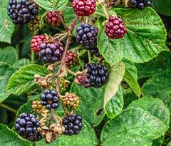 blackberries (grahamd4) Tags: fruit blackberries macro leaves nature canonsx20