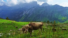 Greetings From Gamsberg (Daphne-8) Tags: cows kuh kühe gamsberg gamsalp toggenburg sanktgallen stgallen alvier switzerland schweiz suisse zwitserland suiza suiça svizra svizzera mountains berge montañas montagnes montanhas alpen alpi alps alpes