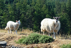 24 Rural (manxmaid2000) Tags: sheep ewe mother lamb countryside rural trees animal baby young wool isleofman farm grass forest plantation sulby tholtewill wood manx iom green woolly fleece fuji