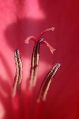 Details (gripspix (OFF)) Tags: 20180802 nature natur plant pflanze flower blume bloom blüte gladiole gladiola gladiolus detail macro makro stamen pistil griffel staubgefäs