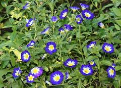 REFORD GARDENS | CONVOLVULUS TRICOLOUR  ROYAL ENSIGN    |  LISERON ROYAL MARINE |   LES JARDINS DE MÉTIS  | QUEBEC  |  GASPESIE   |  CANADA (J P Gosselin) Tags: reford gardens | convolvulus tricolour royal ensign liseron marine les jardins de métis quebec gaspesie canada dwarf morningglory canon 7d 7dmarkii rebel t2i canonrebelt2i eos canon7d markii rebelt2i canonrebel canont2i eost2i eos7d eos7dmarkii mark 2 mark2 eos7dmark2 canon7dmarkii ii canoneosrebelt2i canoneos7d canoneos ph:camera=canon flickr