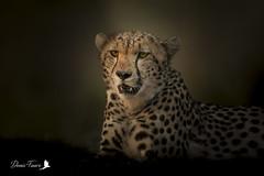 Guépard - Acinonyx jubatus - Cheetah (denisfaure973) Tags: mps guepard masaimara kenya guépard acinonyxjubatus cheetah