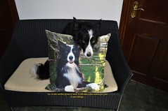I make a good cushion (ASHA THE BORDER COLLiE) Tags: photo cushion border collie picture funny ashathestarofcountydown connie kells county down photography littledoglaughedstories
