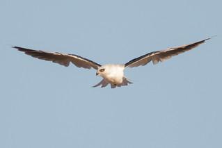 White-tailed Kite Kiting