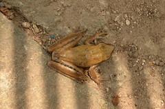 Anura (robertoguerra10) Tags: anura rã marrom brown