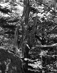 vieil arbre de montagne… (JJ_REY) Tags: arbre tree vieuxbois oldwood film largeformat 4x5 shanghai100 rodinal standdevelopment toyofield 45a sironarn 150mmf56 epson v800 alsace france
