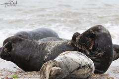 Stop it, you're embarrassing me! (AndyNeal) Tags: animal wildlife nature seal seals horseygap horsey amusinganimals beach sea sand