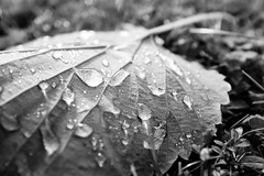 Raindrops (tyrellblack87) Tags: leaf water raindrops rain texture blackandwhite bw blackwhite light shadow nature detail shapes fujifilm fuji fujix100t