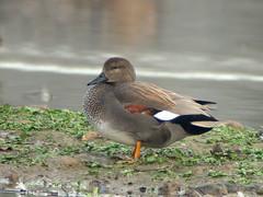 Canapiglia_9919B (Cassinazza) Tags: canapiglia anasstrepera gadwall wigeon anatre ducks anatidae birds uccelli waterbirds uccelliacquatici cassinazza